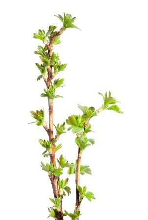 gooseberry bush: Close-up of Ribes nidigrolaria twigs with first spring foliage isolated on white Stock Photo