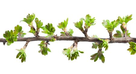 ribes: Twig of blackberry and gooseberry hybrid (Ribes nidigrolaria) twig isolated on white