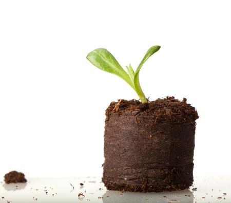 clod: Macro of Cynara scolymus seedling ready for plant