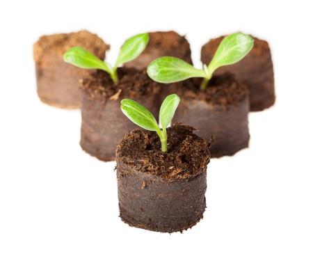 clod: Close-up of artichoke (Cynara scolymus) seedlings in peat blocks ready to plant
