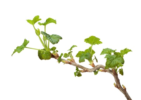 ribes: Close-up of black currant (Ribes nigrum) twig with spring fresh leaves isolated on white Stock Photo