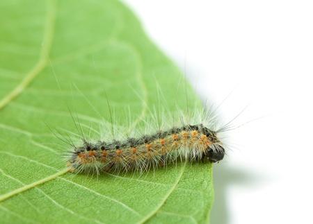 Hyphantria cunea larva on leaf isolated on white Stock Photo - 19159771
