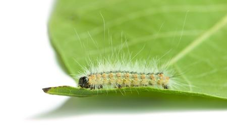 Hyphantria cunea larva on green leaf isolated on white Stock Photo - 19159712