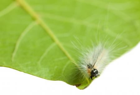 Macro of Hyphantria cunea larva on green leaf isolated on white Stock Photo - 19159758