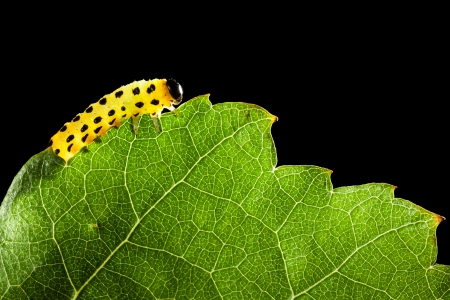 Macro of agriculture pest caterpillar on leaf backlighted photo