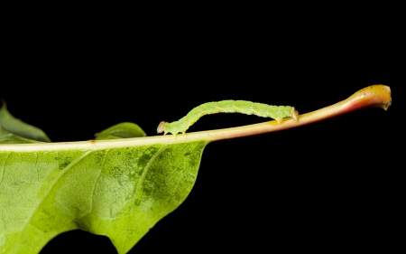 Macro of green inchworm on oak leaf isolated on black photo