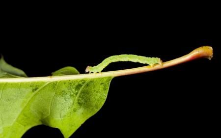 inchworm: Macro of green inchworm on oak leaf isolated on black