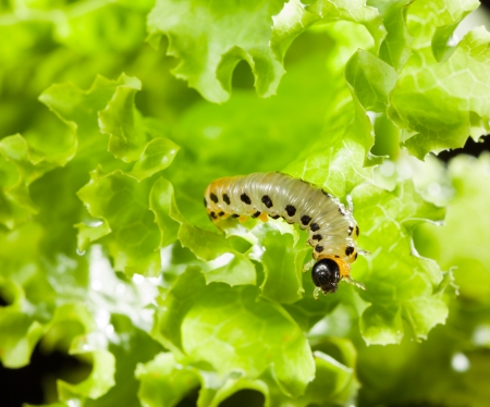 Macro of pest caterpillar climbing in lettuce leaf photo