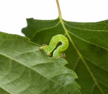 inchworm: Small codling moth caterpillar on leaf isolated on white Stock Photo
