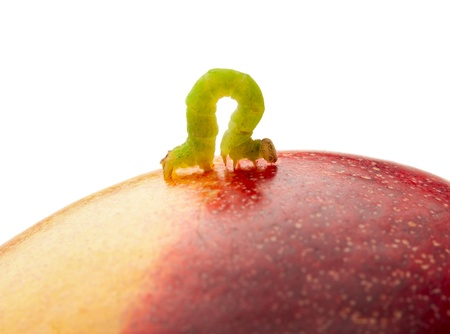 inchworm: Macro of looper on red peach isolated on white