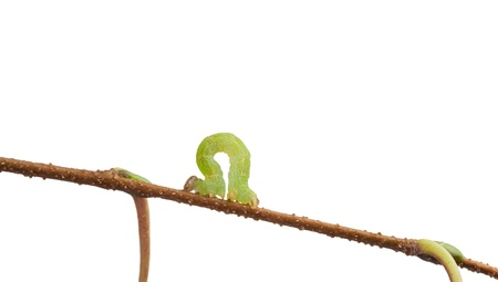 Small green looper crawling on twig isolated on white photo