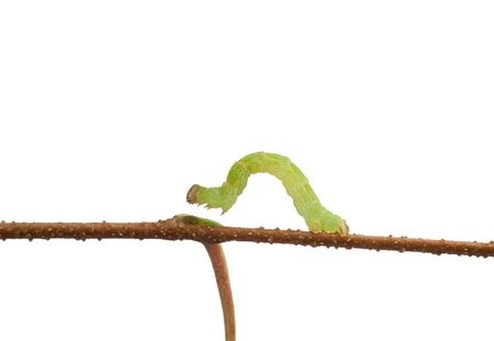 Small looper crawling on twig Stock Photo