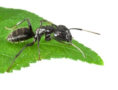 hormiga hoja: Macro de la hormiga negro sentado en punta de la hoja aislado en blanco