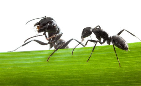 Macro of two black ants standing on grass blade isolated on white  photo