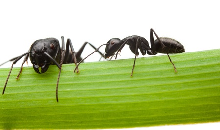 Macro en face and side view of two black ants on grass blade isolated on white  photo