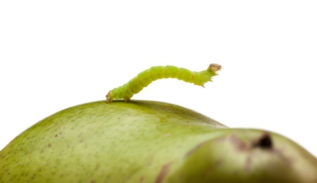 Small codling moth caterpillar on green pear isolated on white  photo