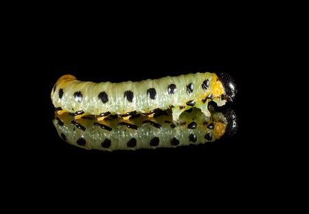Side view of caterpillar on black reflective plate Stock Photo - 21734465