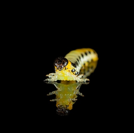 Yellow caterpillar on black reflective plate  photo