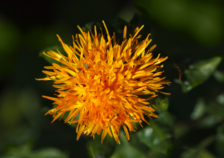 macroshot: Safflower  Carthamus tinctorius  flower macroshot