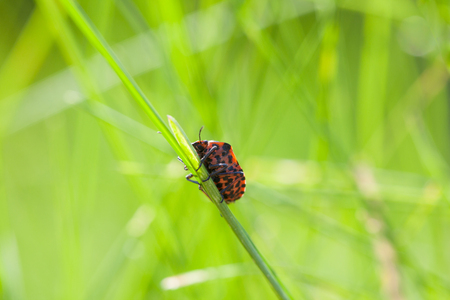 graphosoma: Macro of shield bug  Graphosoma lineatum  climbing on grass blade