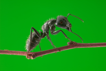 Macro of big black ant standing on tree brunch over green background photo