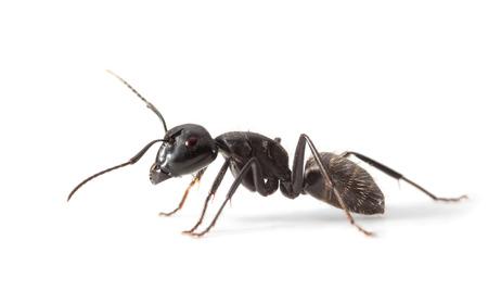 Macro zijaanzicht van mier die zich over witte achtergrond Stockfoto