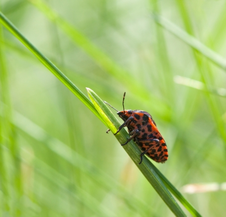 Shield bug  Graphosoma lineatum  over green grass background Stock Photo - 23739673