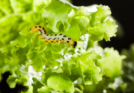 Yellow caterpillar crawling on lettuce leaf  photo