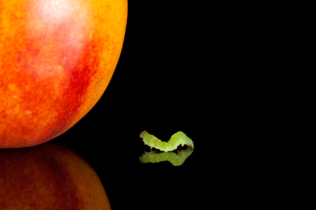Small codling moth caterpillar and peach on black reflective plate  photo