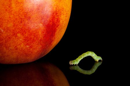 Small codling moth caterpillar crawling to red peach isolated on black  photo