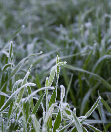 Macro of cereal grass covered by rime in early winter photo