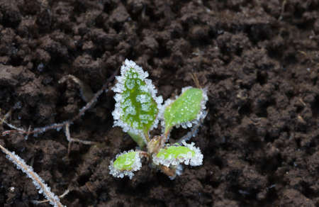 Macro of rime crystals on green plantlet  photo