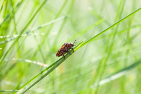 Macro of Graphosoma lineatum climbing on grass blade photo