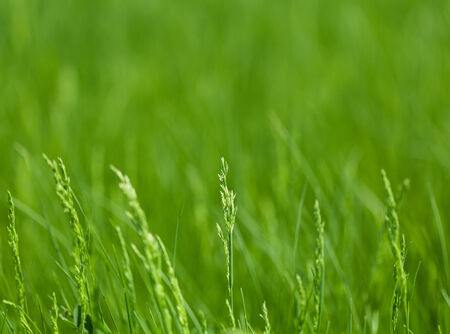 grass plot: Macro of grass over green meadow background, shallow DOF Stock Photo