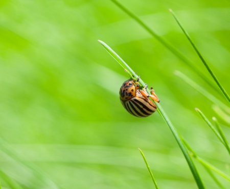 Macro of potato beetle  Leptinotarsa decemlineata  on top of grass blade photo
