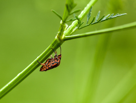 Macro of shield bug  Graphosoma lineatum  over meadow background photo