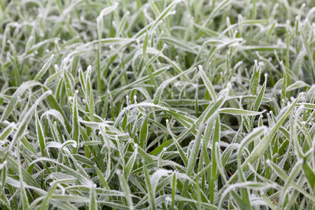 grass plot: Rime on cereal field at early winter