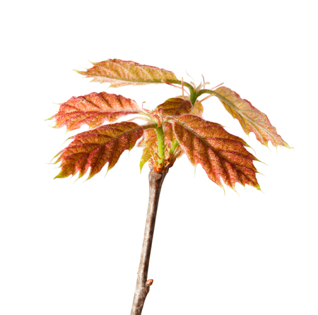 quercus: Red oak  Quercus rubra  twig isolated on white background Stock Photo