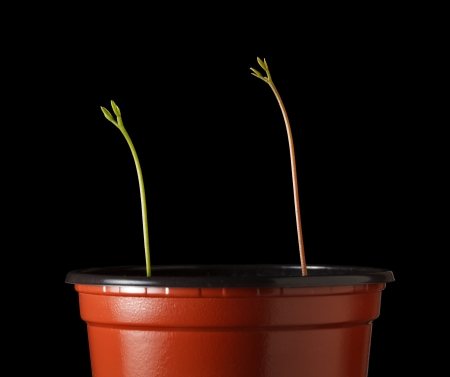 strive for: Closeup of seedlings in pot stretched for light isolated on black Stock Photo