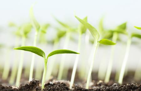 Macro di plantlet verdura su sfondo piantine