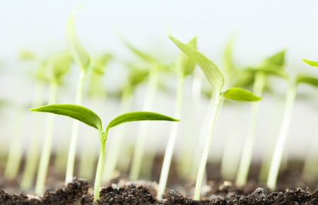 plantlet: Macro of vegetable plantlet over seedlings background  Stock Photo