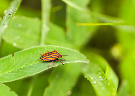 lineatum: Macro of striped bug Graphosoma lineatum over spring garden background