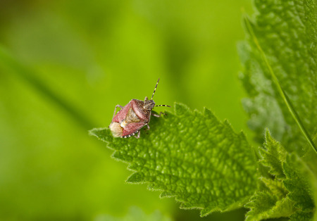 Macro of pest bug  Dolycoris baccarum  on stinging nettle leaf photo