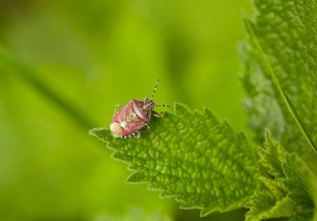 Macro of pest bug  Dolycoris baccarum  on stinging nettle leaf photo