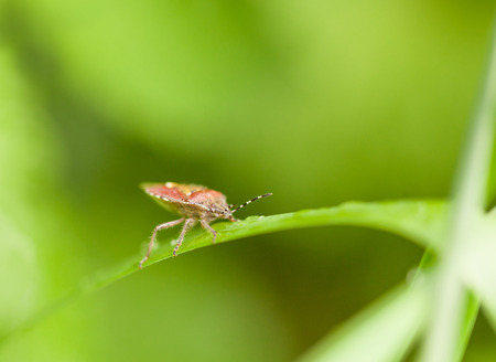 Sideview of pest bug  Dolycoris baccarum  on grass blade photo