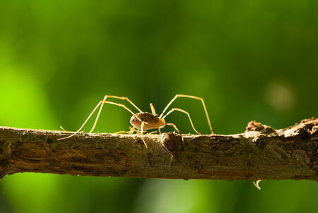Macro of  daddy long legs  Phalangida  backlighted over green forest background Stock Photo - 26404732