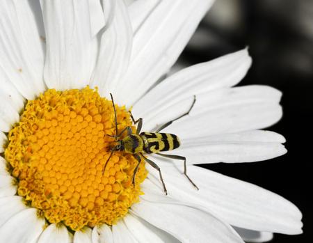 longhorn beetle: Longhorn beetle on daisy flower Stock Photo