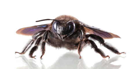 Macro of carpenter bee low angle view isolated on white