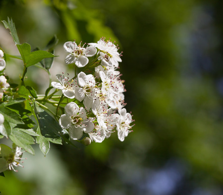 Macro of may-blossom  Crataegus monogyna  white flower over green garden background photo