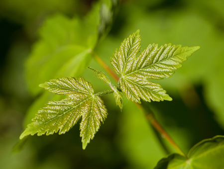 Macro of sycamore  Acer pseudoplatanus  leaves over blur forest background